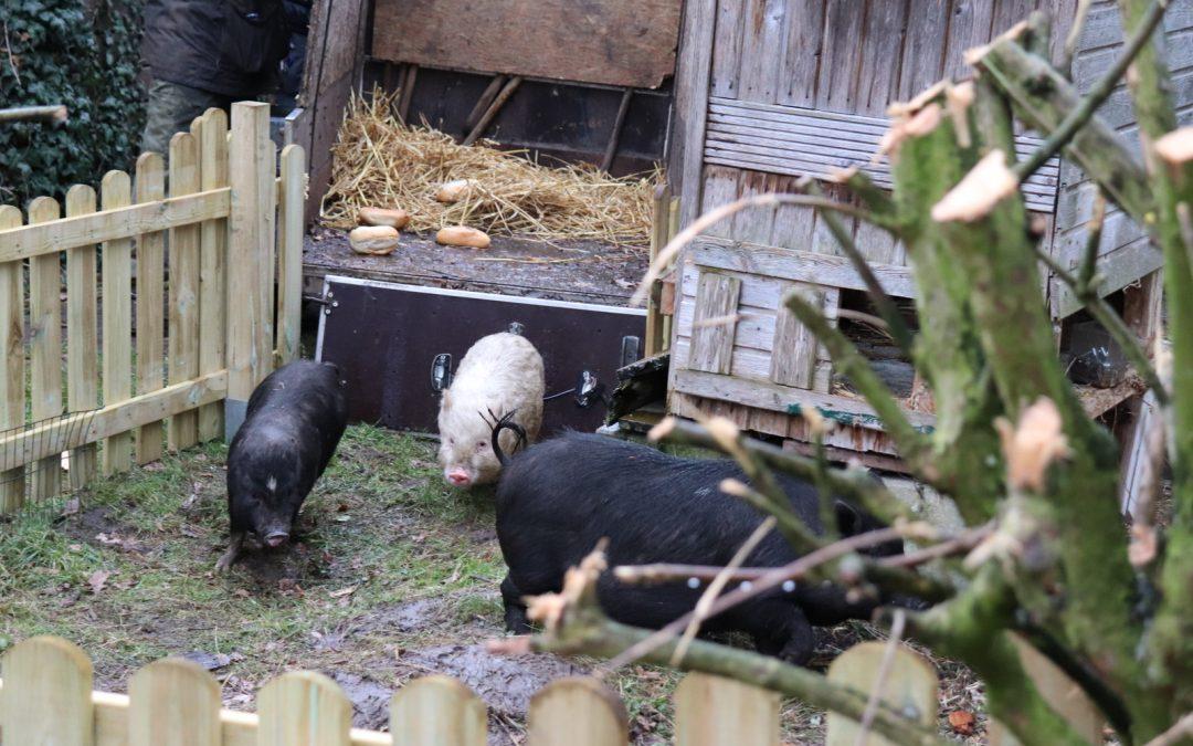 Schweineankunft